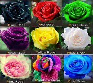 انواع گل های رز