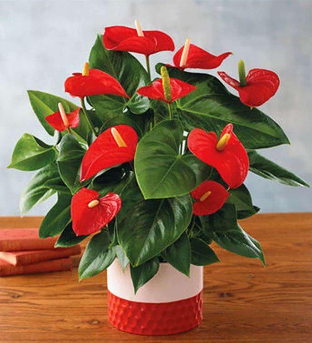 خرید آنلاین گل انتریوم