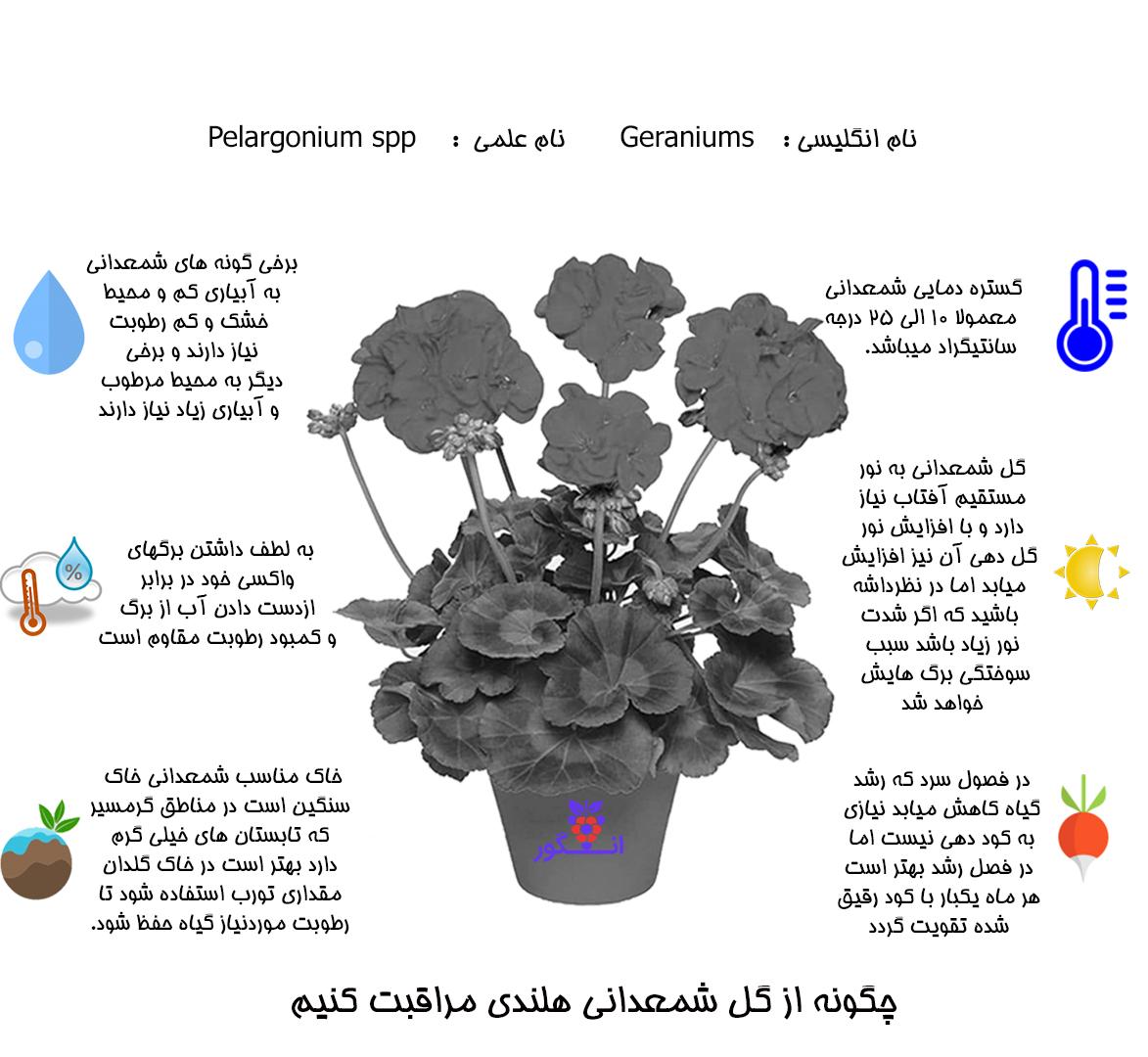 گیاه شمعدانی