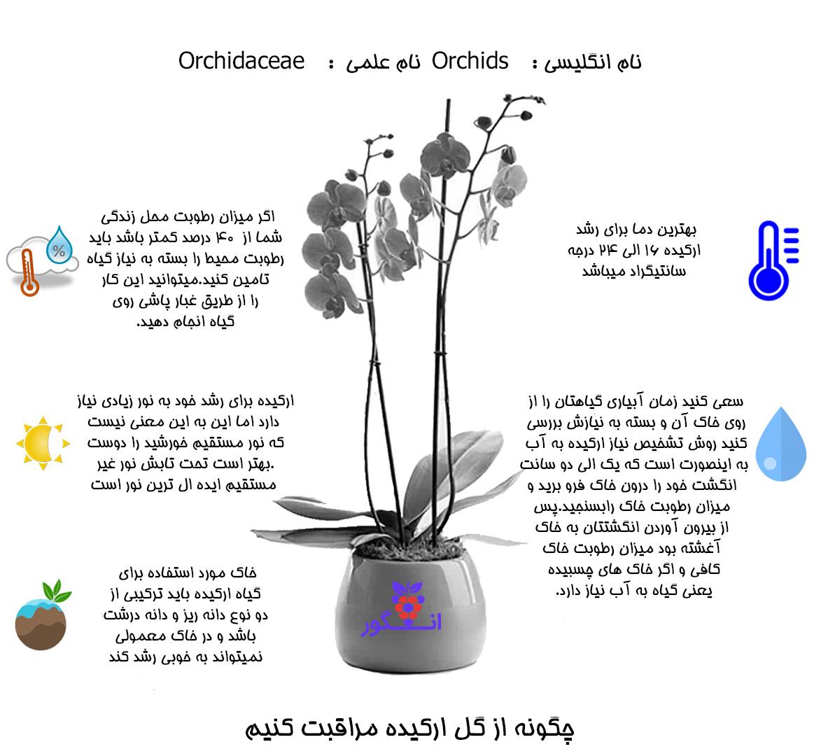 گل گلدانی ارکیده (طبیعی) Orchids
