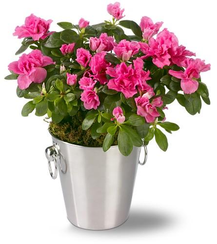 گل گلدانی آزالیا نوروزی